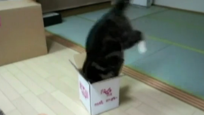 maru box-jumping cat