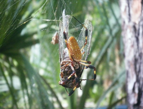 Giant Spider Eating A Snake Is Absolutely Horrifying Giant Spider Eating a ...