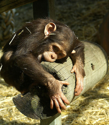 baby chimpanzee