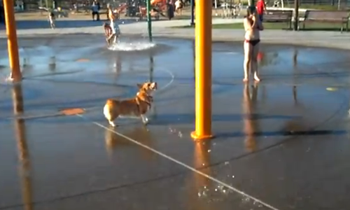 corgi having fun at water park