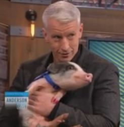 anderson cooper pig