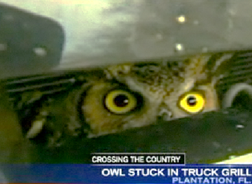 owl in grill
