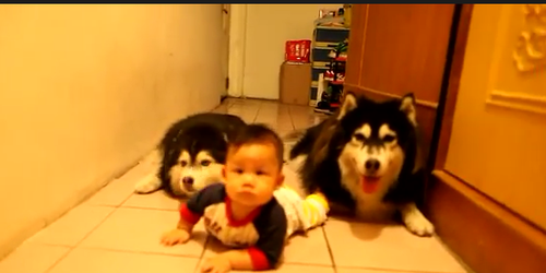 crawling baby and dogs