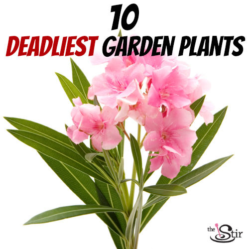 deadly oleander plant