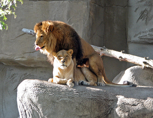 two lions at the zoo