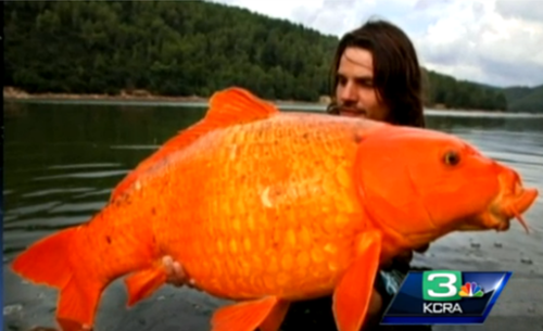 The 'Monster Goldfish' Apocalypse Is Here & We Only Have ...