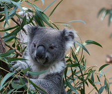 braised koala