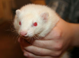 horrible ferret