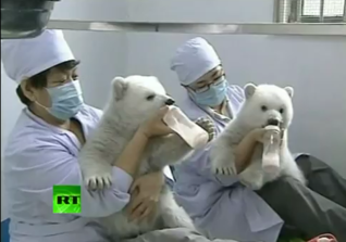 twin polar bear cubs get fed
